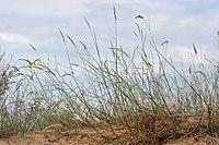 Agropyron dasyanthum.jpg