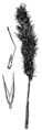 Agrostis microphylla drawing.png