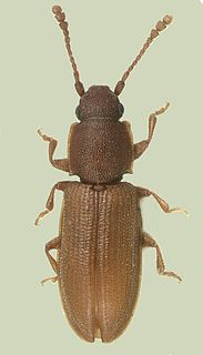 Silvanidae family of insects