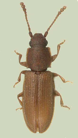 Silvanidae - Ahasverus longulus