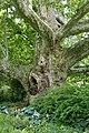 Ahornblättrige Platane Doblhoffpark 01.jpg