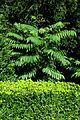 Ailanthus und Buchs im Giftgarten.jpg