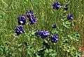 Akvileja (Aquilegia vulgaris) 002.jpg