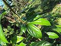 Alangium salviifolium leaves 06.JPG
