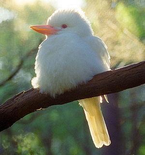 An Albino Kookaburra