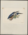 Alcyone azurea - 1820-1863 - Print - Iconographia Zoologica - Special Collections University of Amsterdam - UBA01 IZ16800231.tif