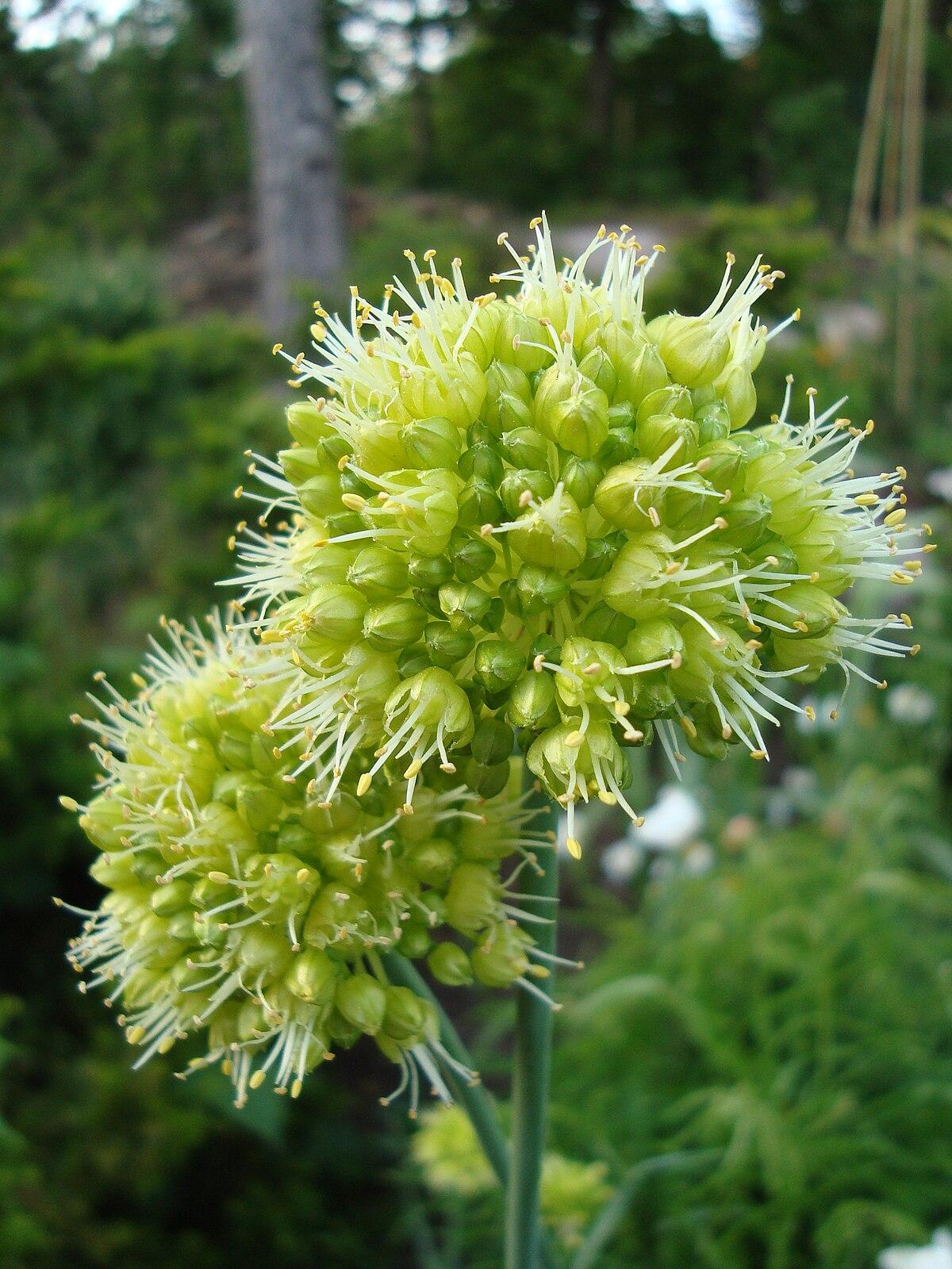 Semis d'Allium 1200px-Allium_obliquum1a.UME