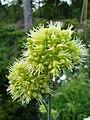 Allium obliquum1a.UME.JPG