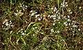 Allium subhirsutum RF.jpg