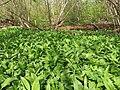 Allium ursinum 126281034.jpg
