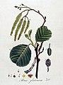 Alnus glutinosa — Flora Batava — Volume v4.jpg