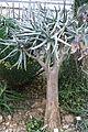 Aloe dichotoma - Botanischer Garten, Dresden, Germany - DSC08904.JPG