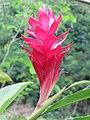 Alpinia purpurata - Red Ginger from Peravoor (5).jpg