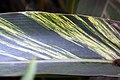 Alpinia zerumbet 23zz.jpg