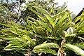 Alpinia zerumbet 27zz.jpg