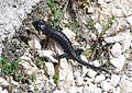 Alpski Salamander 1.jpg