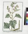 Althæa Dioscoridis, et Plinii - Althæa Ibiscus - Maluavisco - Guimauve ordinaire. (Marsh mallow) (NYPL b14444147-1124974).tiff