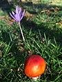 Amanita muscaria (23259510996).jpg
