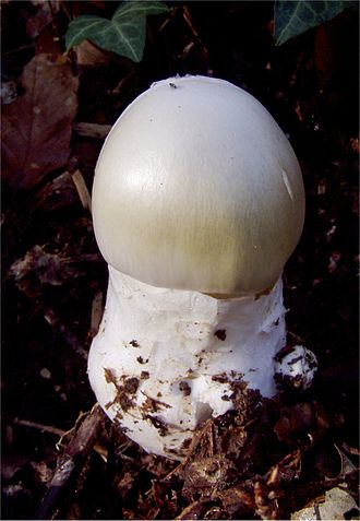 Amanita phalloides - A young death cap emerging from its universal veil