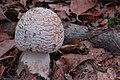 Amanita rubescens (30030012936).jpg
