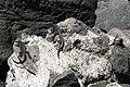 Amblyrhynchus cristatus (3838135696).jpg