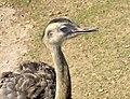 American Rhea, Zoo Brno.jpg