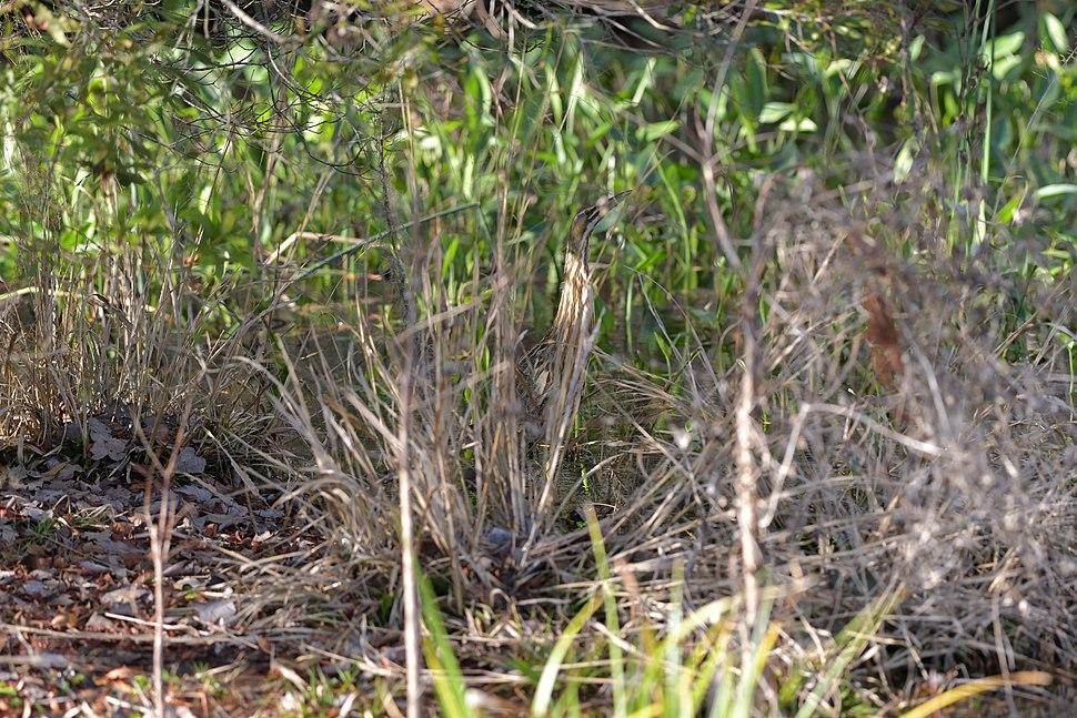 American bittern (Botaurus lentiginosus) hiding in tall grass