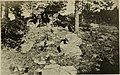 American fossil cycads (1906) (18149011561).jpg
