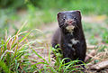 American mink.jpg