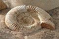 Ammonit - Wüstenhaus.jpg