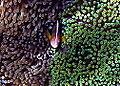 Amphiprion akallopisos.jpg