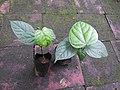 Anamirta cocculus-2-bsi-yercaud-salem-India.jpg