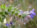 Anchusa officinalis (3704268410).jpg