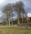 Ancient Copse of Beeches - geograph.org.uk - 720003.jpg