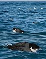Ancient Murrelet From The Crossley ID Guide Eastern Birds.jpg