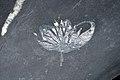 Andalousite sur schiste noir - pierre chrysanthème (Daxi River, Liu Yang City - China).jpg