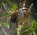 Andigena laminirostris -Tandayapa, Ecuador-8.jpg