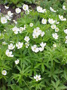 Anemone canadensis1.jpg