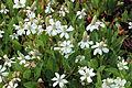 Anemopsis californica-IMG 6370.jpg