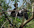 Anhinga sunning and preening in Corkscrew Wildlife Sanctuary (32615483906).jpg