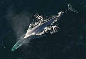 Blue whale - Adult blue whale  (Balaenoptera musculus)