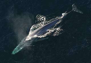 Baleen whale, largest animal known to ever exist.