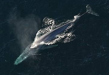 Blue whale Anim1754 - Flickr - NOAA Photo Library.jpg