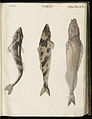 Animal drawings collected by Felix Platter, p1 - (173).jpg