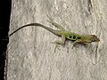 Anolis oculatus montanus.jpg