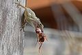 Anolis sp. with prey — Geoff Gallice 001.jpg