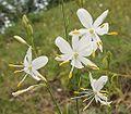 Anthericum ramosum 250605a.jpg