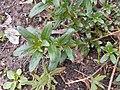 Antirrhinum braun-blanquetii 2017-04-30 9138.jpg