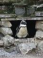 Antisocial penguin (540176815).jpg