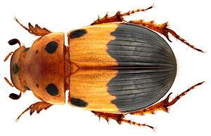 Aphodiinae - Aphodius septemmaculatus